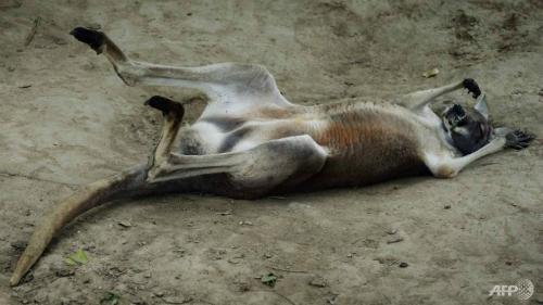 Khách Trung Quốc dùng gạch ném chết kangaroo trong sở thú