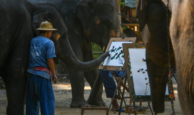 Đàn voi biết vẽ tranh để kiếm sống ở Thái Lan