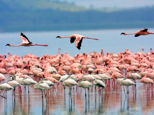 flamingos-lake-nakuru-kenya-1376478947_5