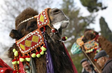 218689-camel-wrestling_1388978663.jpg