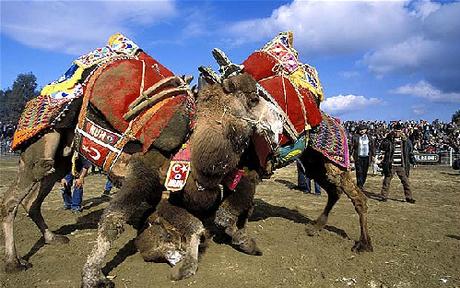 Camelwrestling2-2183496i_1388978421.jpg
