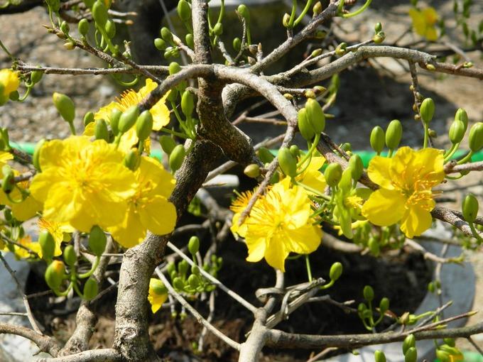 Hoa mai vàng rực rỡ đón xuân sang
