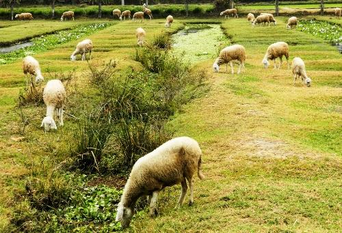 Đến Ninh Thuận thưởng thức thịt cừu nướng 1