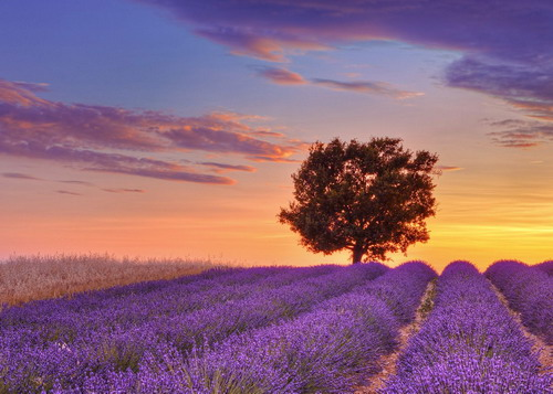 english-lavender-field-and-lon-3360-9990