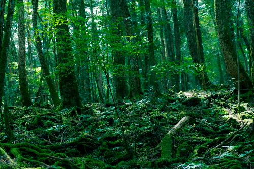 1-Aokigahara-Forest-wiki-6418-1409197375