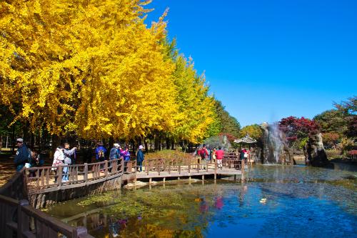 Sắc vàng rực rỡ của hàng ngân hạnh phủ khắp đường phố Hàn mùa thu.