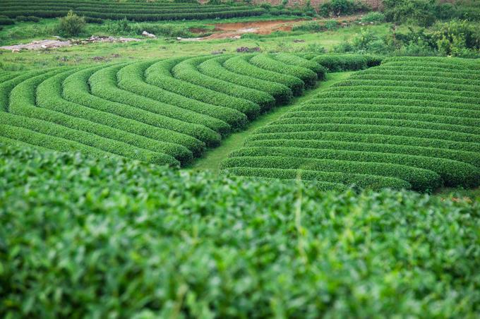 Những đồi chè xanh mướt ở Mộc Châu