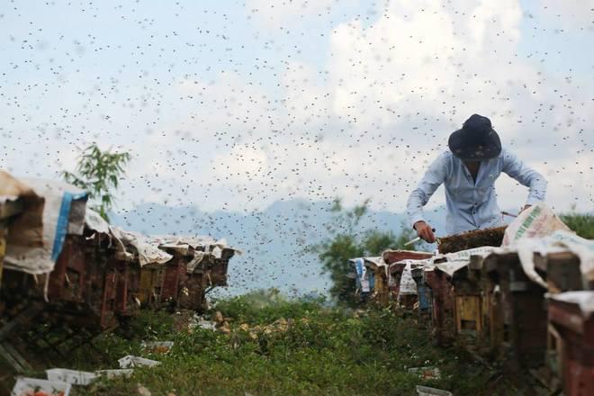 Mộc Châu, nơi những chú ong về lấy mật