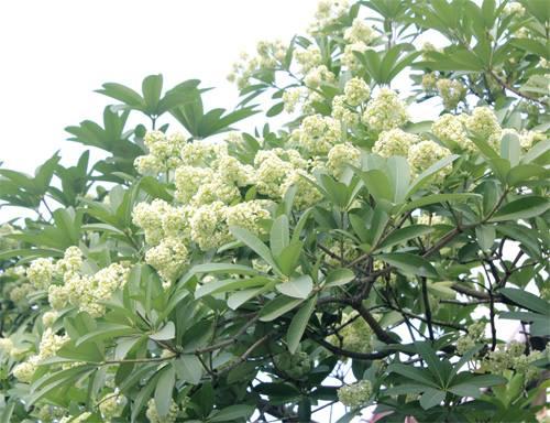 Mua hoa sua tren xu Phan Rang