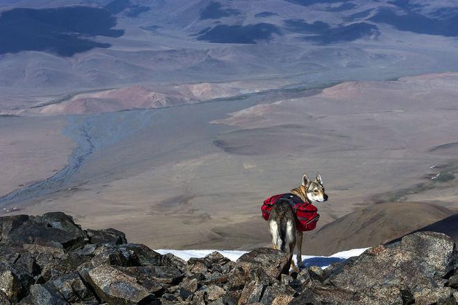 mongolia tsambagaraw diuna skaly 880 1414557957 660x0 Chú chó lai sói chinh phục Mông Cổ