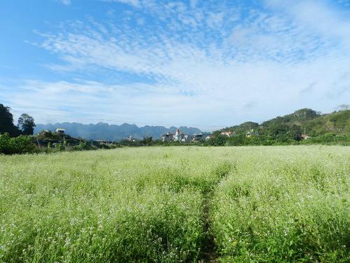 Những cánh đồng hoa cải đã nở bung rực rỡ từ cuối tháng 10, đón nhiều lượt khách đến khám phá. Ảnh: Ngô Thành Đạo.