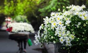 Cúc họa mi đem mùa về phố Hà Nội