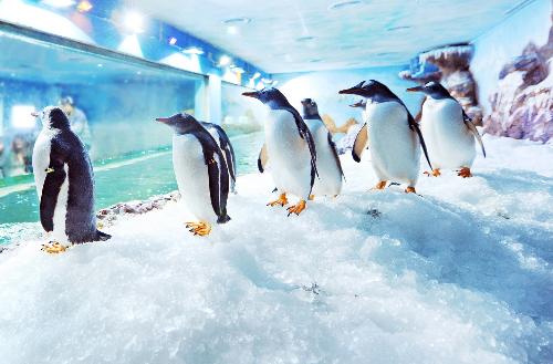 """Ngay từ khi về """"ngôi nhà mới"""", các chú cánh cụt được những kỹ sư tại Thủy cung Vinpearl Land Phú Quốc chăm sóc đặc biệt. Với thân hình to lớn, dáng đi lạch bạch, ngôn ngữ cơ thể duyên dáng, cử chỉ thân thiện, Gentoo đôi lúc đánh lừa cảm giác của du khách rằng chúng là một loài chậm chạp..."""