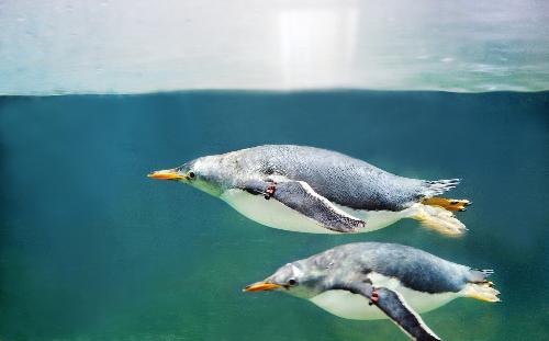 """Với vận tốc bơi dưới nước tối đa 36km/h, loài Gentoo được mệnh danh là """"vua tốc độ"""" trong thế giới chim cánh cụt. 15 chú chim này đến với Việt Nam bằng chuyên cơ riêng Airbus A320."""
