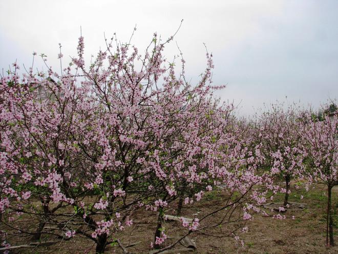 Vẻ đẹp hoa đào các vùng miền Việt Nam - ảnh 10
