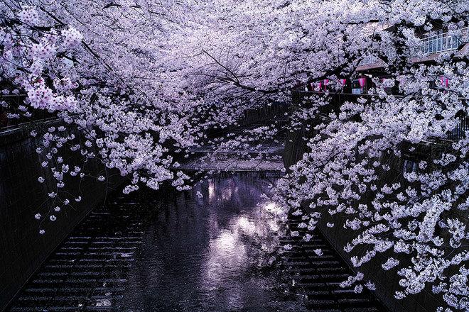 Sakura - loài hoa mang linh hồn võ sĩ đạo