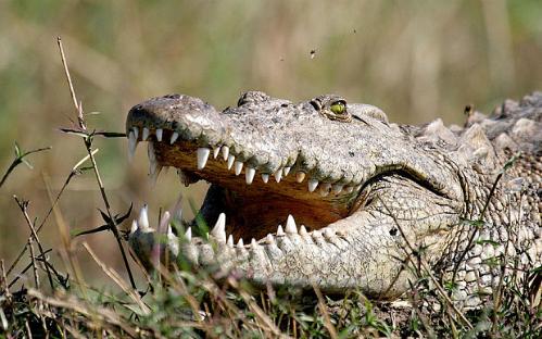 Crocodile-Zimbabwe-3234173b-4486-1426642