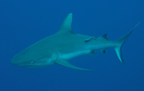shark-red-sea-3905-1427079735.jpg