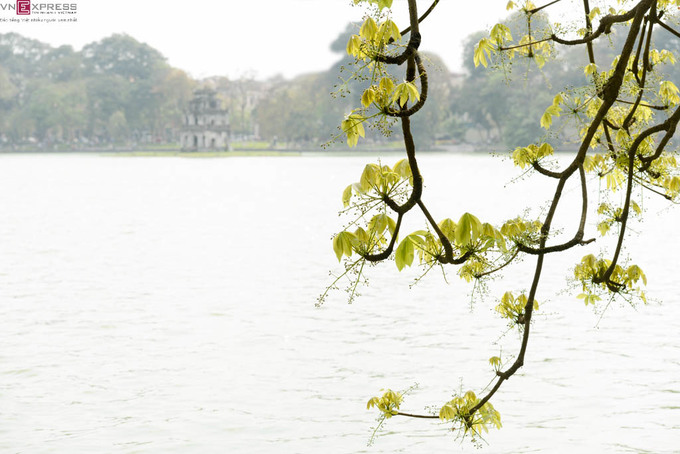 Hồ Gươm nên thơ mùa hoa mõ nở