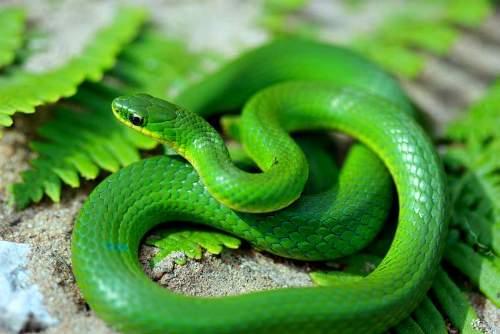 green-snake-2-JPG-6834-1428469049.jpg