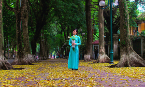 Lá sấu dệt thảm vàng trên đường phố Hà Nội