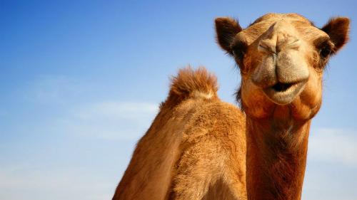 GTY-camel-jtm-140822-16x9-992-8574-14305