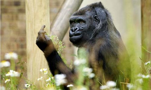 Bức ảnh chụp con khỉ đột giơ ngón tay giữa của ông Bob