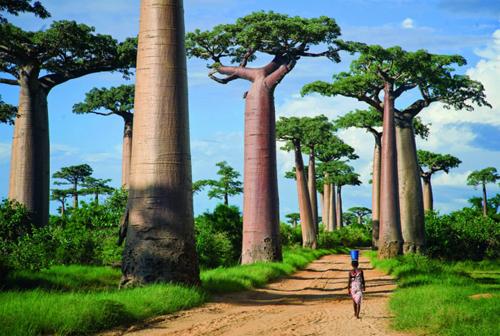 Ngắm nhìn vẻ đẹp của loài cây bao báp ở  Madagascar