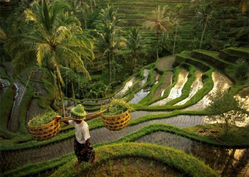 Ở Bali có rất nhiều ruộng bậc thang.