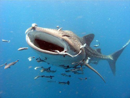 whale-shark-diving-9958-1442027467.jpg