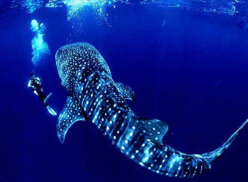 whale-sharks-7138-1442027467.jpg