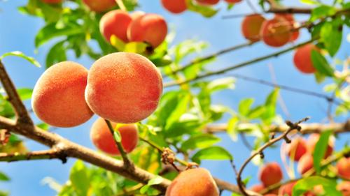 1681822-poster-1280-peach-tree-1172-1442