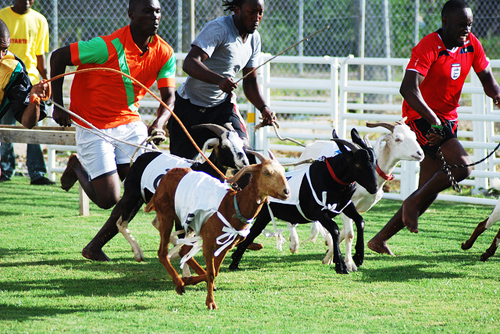 Goat-Race-Tobago-2752-1442802654.jpg