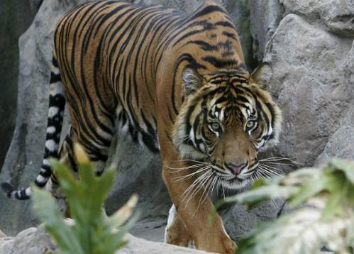 oz-tiger-3447551b-9297-1442905064.jpg