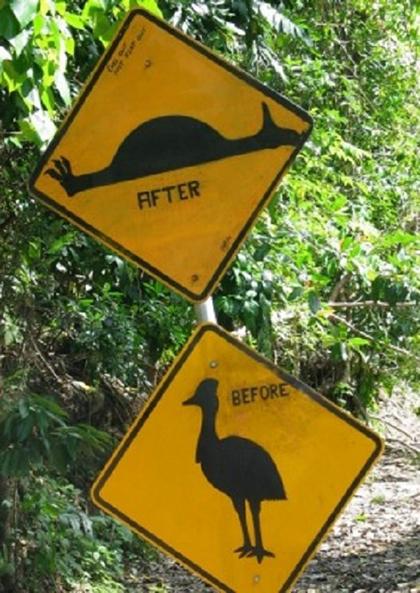 Biển báo vui nhộn về giống đà điểu Daintree được dựng tại Mũi Hảo Vọng, thuộc vùng Bắc Queensland. Biển chỉ dẫn thông báo cho những tài xế rõ về những chuyện gì có thể xảy ra nếu họ không chịu nhường đường cho loài chim to lớn và không biết bay này.