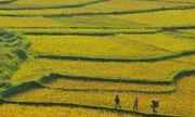 Mùa vàng trên đỉnh Pù Luông xứ Thanh
