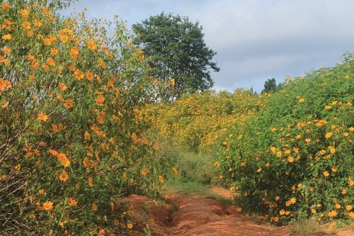 Các điểm rực vàng sắc hoa dã quỳ ở Đà Lạt