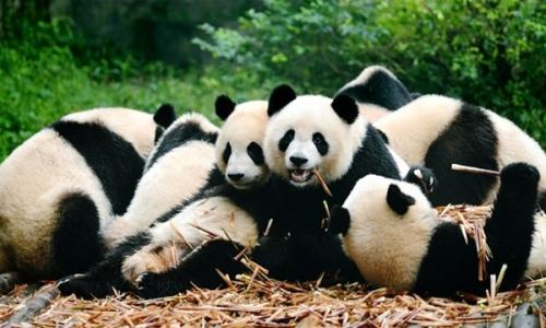 Những con gấu trúc đáng yêu ở Trung Quốc.