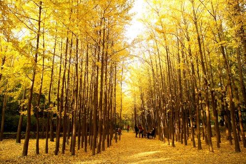 Khung cảnh yên bình rợp sắc lá vàng của rừng Seoul. Ảnh: havehalalwilltravel