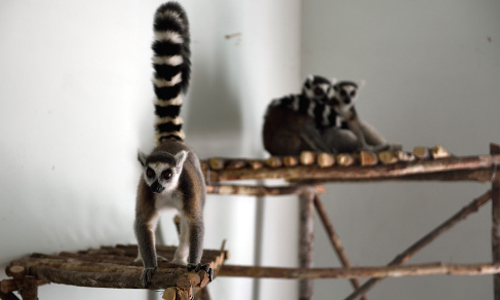 Đây là đợt chuyển thú đầu tiên cho tổng số 140 loài động vật của giai đoạn 1, dự án Vinpearl Safari Phú Quốc. Từ nay đến ngày khai trương, dự kiến sẽ có thêm 5 chuyến chuyên cơ vận chuyển động vật quý hiếm về Phú Quốc.