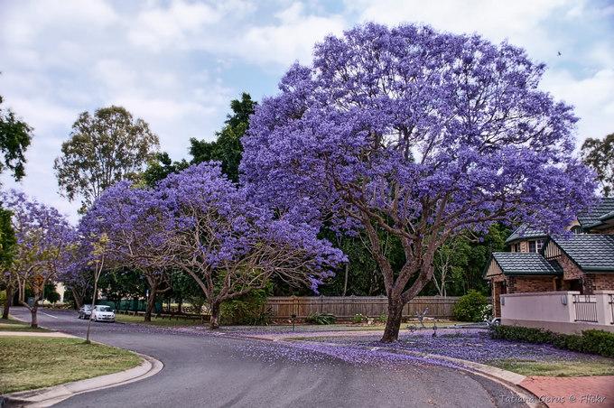 Mùa phượng tím lãng mạn ở Australia