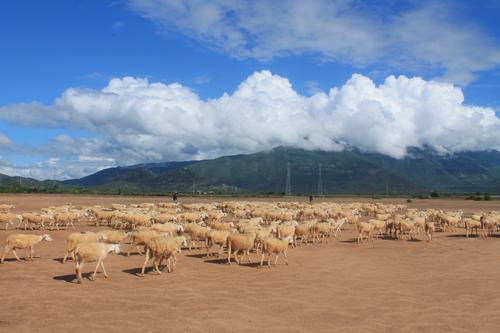 Đồng cừu An Hòa  điểm đến mới mẻ ở Ninh Thuận. Ảnh: Xuân Lộc.