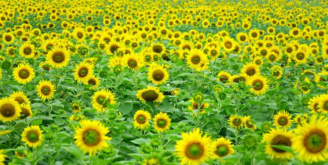 Cánh đồng hoa hướng dương lớn nhất Việt Nam