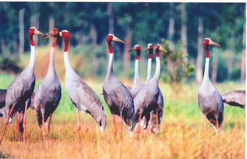 Vườn quốc gia Tràm Chim nổi tiếng với loài chim Sếu đầu đỏ. Ảnh: Dongthap.gov.vn.
