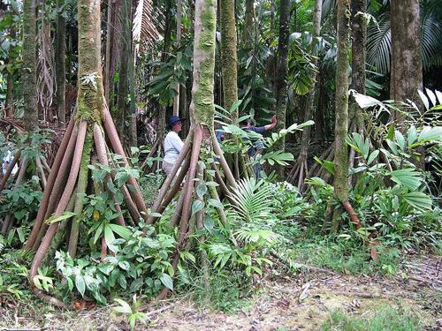 Rừng ecuador và bí ẩn về những cây cọ biết đi - 1
