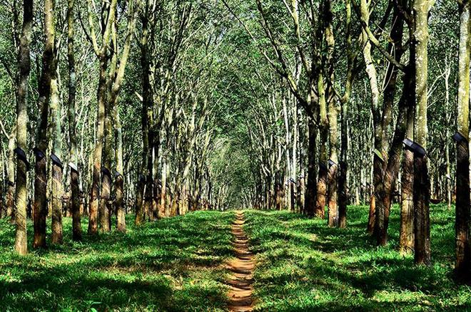 Tuyệt vời rừng cao su gia lai mùa thay lá - 1