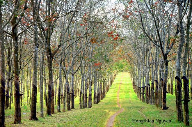 Tuyệt vời rừng cao su gia lai mùa thay lá - 2