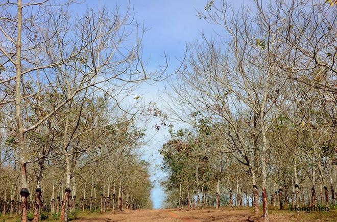 Tuyệt vời rừng cao su gia lai mùa thay lá - 4