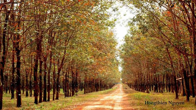 Tuyệt vời rừng cao su gia lai mùa thay lá - 5