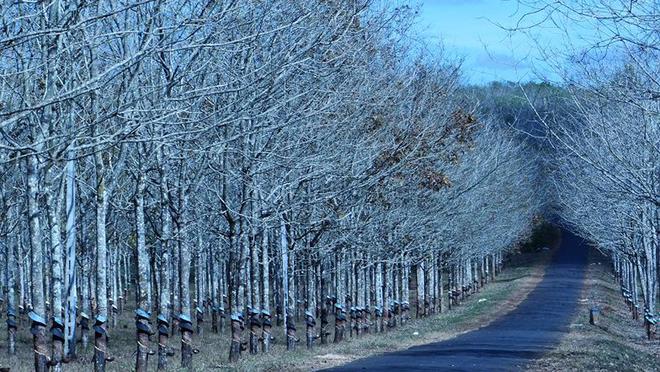 Tuyệt vời rừng cao su gia lai mùa thay lá - 6